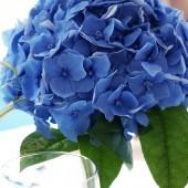 blomster, blå blomster, blue flowers